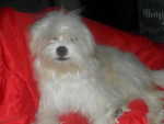 Chien Kaminouz a 9 mois - Terrier tibétain  (9 mois)