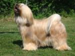 Chien Sassy - Terrier tibétain Femelle (2 ans)