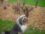 Chien bandy - Terrier tibétain Femelle (10 ans)