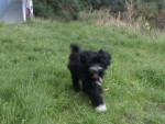 Chien jely - Terrier tibétain Femelle (6 mois)