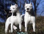 Chien Leo y Natasha - Dogue argentin  (0 mois)