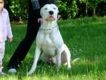Chien sako - Dogue argentin Mâle (7 mois)