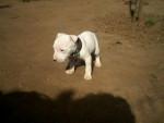 Chien shakyra 2 - Dogue argentin Femelle (0 mois)