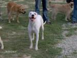Chien dogue argentin Nickie - Dogue argentin  (0 mois)