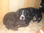 Chien keronn croisé dogue argentin - Dogue argentin Femelle (0 mois)