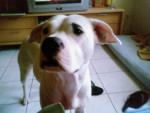 Chien Dogue Argentin Nickie - Dogue argentin Femelle (0 mois)