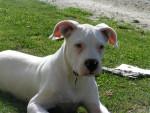 Chien dock :dogue argentin a 6 mois - Dogue argentin Femelle (6 mois)