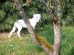 Chien kingston dogue-argentin - Dogue argentin Femelle (0 mois)