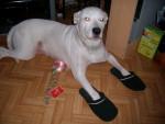 Chien KAYA, DOGUE ARGENTIN - Dogue argentin Femelle (0 mois)