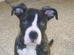 Chien croise cane et corso avec dogue argentin - Dogue argentin  (0 mois)