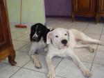 Chien Fiona dogue argentin - Dogue argentin  (0 mois)
