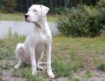 Chien Demon, 8 mois - Dogue argentin Femelle (8 mois)