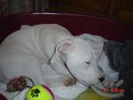 Chien  - Dogue argentin Femelle (0 mois)