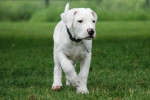 Chien epsi - Dogue argentin Femelle (2 mois)