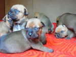 Chien Chiots - Imperial Tosa Kennel - Tosa Inu  (0 mois)