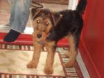 Chien Welsh Terrier - Mia - Welsh Terrier  (0 mois)