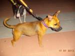 Chien Petit - Staffordshire bull terrier Femelle (1 an)