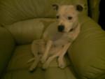 Chien cassie - Staffordshire bull terrier Femelle (3 ans)