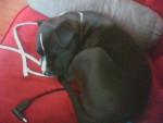 Chien stryker - Staffordshire bull terrier Femelle (6 mois)