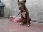 Chien Booker - Staffordshire bull terrier Femelle (3 mois)
