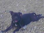 Chien coca - Staffordshire bull terrier Femelle (3 ans)