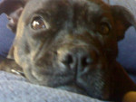 Chien coca - Staffordshire bull terrier Femelle (3 ans)