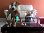 Chien Guliver :) - Staffordshire bull terrier Femelle (2 mois)