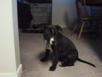 Chien abby - Staffordshire bull terrier Femelle (5 mois)