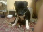 Chien Roxy - Staffordshire bull terrier Femelle (2 ans)