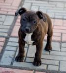 Chien Harry - Staffordshire bull terrier Mâle (2 mois)