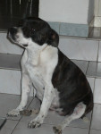 Chien Missy - Staffordshire bull terrier Femelle (2 ans)