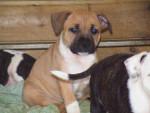 Chien Haka - Staffordshire bull terrier Femelle (7 mois)