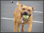 Chien Gucci - Staffordshire bull terrier Femelle (1 an)