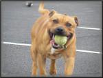 Chien Gucci - Staffordshire bull terrier Mâle (1 an)