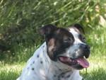 Chien Faya - Staffordshire bull terrier Femelle (3 ans)
