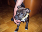 Chien Keyna chiot staffordshire bull terrier - Staffordshire bull terrier  (0 mois)