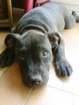 Chien furia - Staffordshire bull terrier Femelle (4 mois)