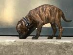 Chien Mesrine - Staffordshire bull terrier Mâle (3 mois)
