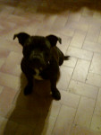 Chien furia - Staffordshire bull terrier Femelle (2 ans)
