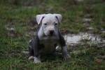 Chien Auggie McLovin - Staffordshire bull terrier Mâle (8 mois)