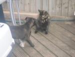 Chien Hexi - Staffordshire bull terrier Femelle (8 mois)