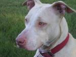 Chien Mia - Staffordshire bull terrier Femelle (2 ans)