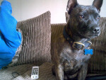 Chien missy - Staffordshire bull terrier Femelle (5 ans)