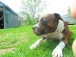 Chien BumbaJack Bee-Master - Staffordshire bull terrier Mâle (5 ans)