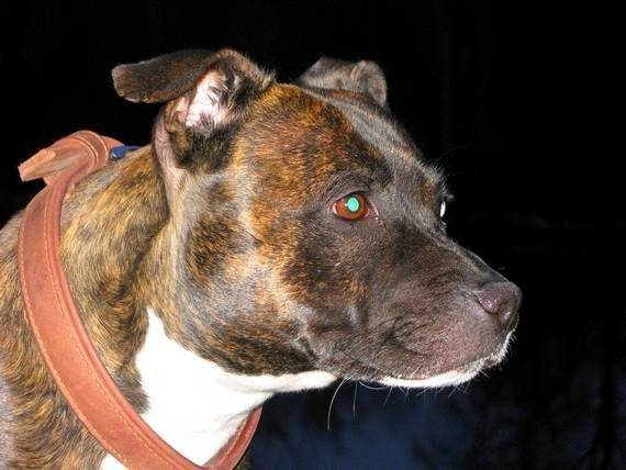 Chien Athena - Staffordshire bull terrier Femelle (3 ans)