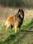 Chien U\'Souka du crépuscule des loups berger belge Tervueren - Berger belge Tervueren  (0 mois)