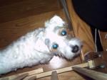 Chien Scruffy - Jack Russell Mâle (4 ans)