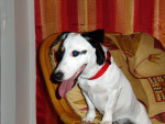 Chien Tickie - Jack Russell Femelle (4 ans)