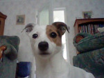 Chien Katy - Jack Russell Femelle (6 ans)