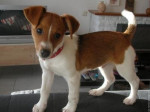 Chien Cookie - Jack Russell Mâle (1 an)